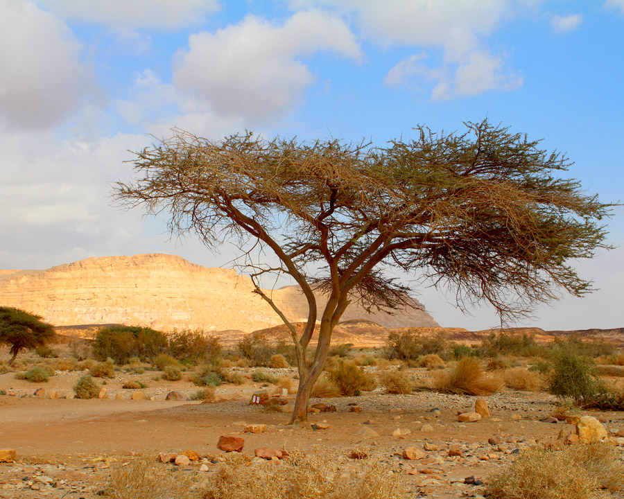 Tree in the Negev